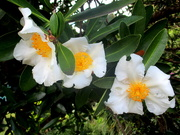 8th Jun 2020 - Flowers of the Fried Egg Tree