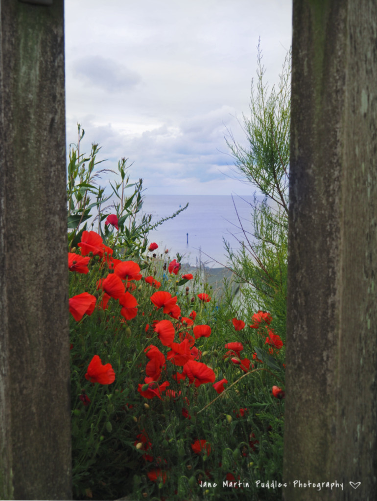 Poppies through the fence. by janemartin
