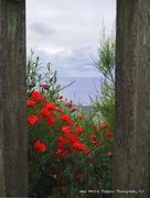 8th Jun 2020 - Poppies through the fence.