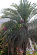 8th Jun 2020 - A flowering palm tree?!