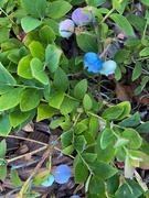 8th Jun 2020 - The second blue berry bush