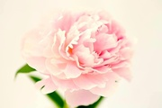8th Jun 2020 - High Key Peony
