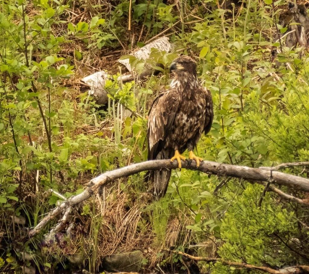 Juvenile Eagle by radiogirl