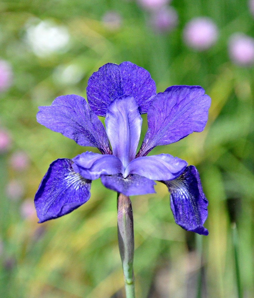 My irises are blooming..... by sailingmusic