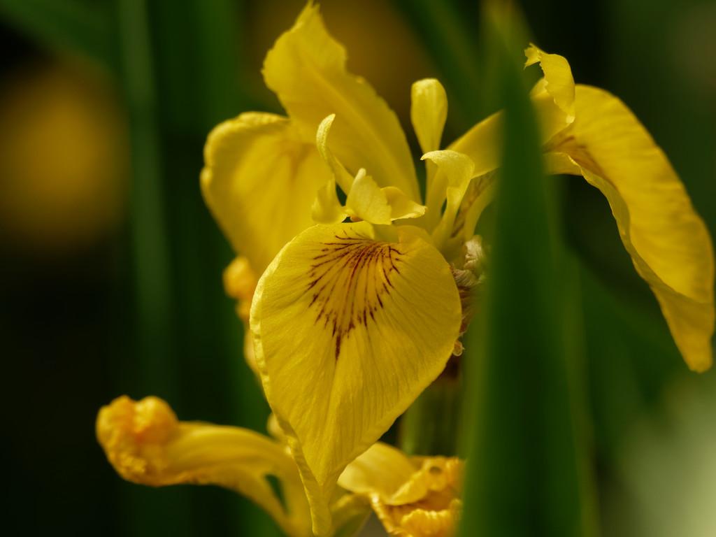 yellow iris by rminer