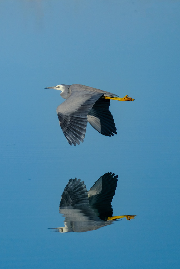 White faced heron flying downstream by maureenpp