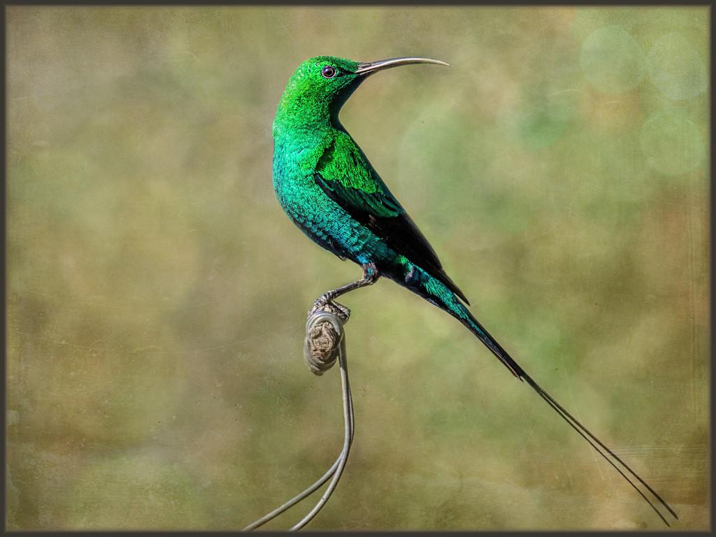 Malachite Sunbird  by ludwigsdiana