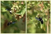 9th Jun 2020 - Carpenter Bee