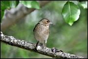 9th Jun 2020 - RK3_8327 Female chaffinch