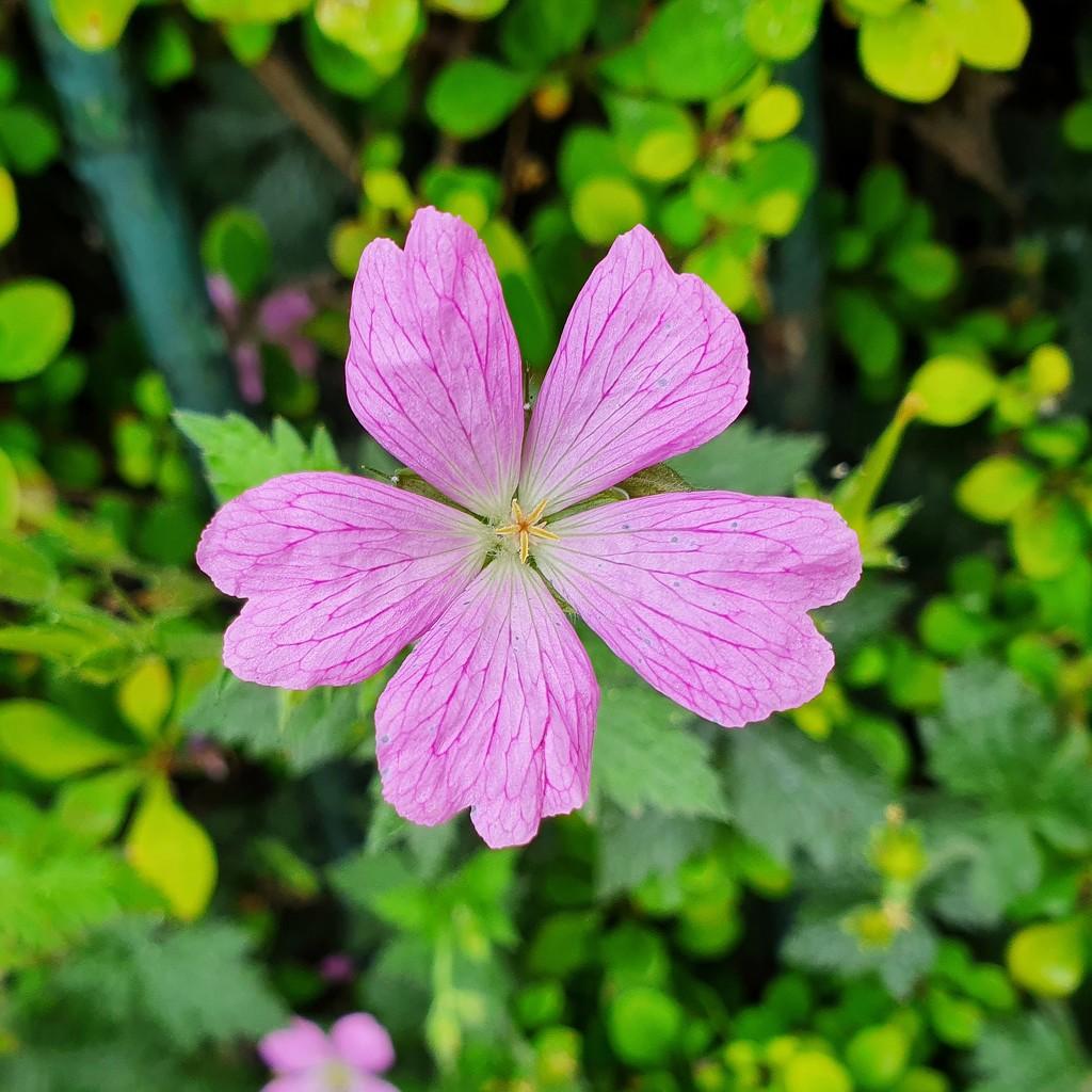 Wild geranium by isaacsnek