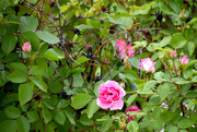 7th Jun 2020 - Wild Roses In The City