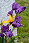 6th Jun 2020 - Happy Irises