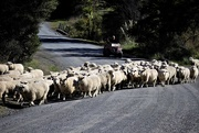11th Jun 2020 - Sheep