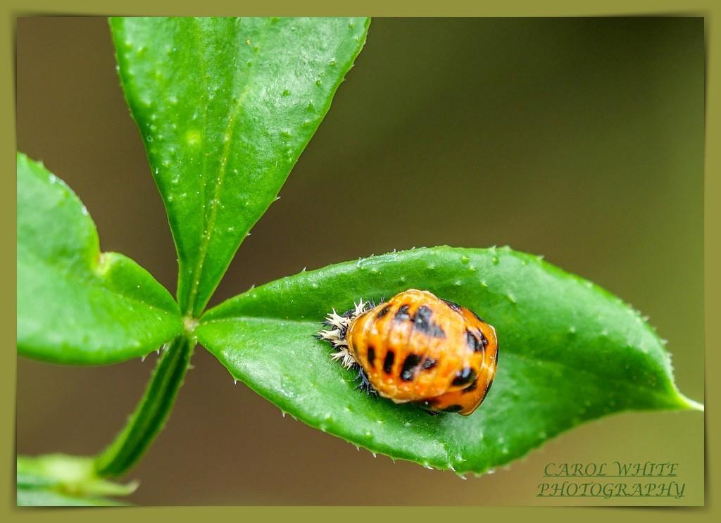 Ladybird Pupa by carolmw