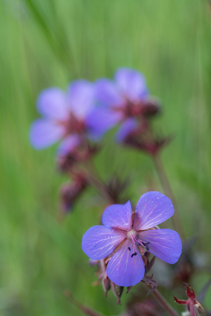 Hardy geranium by rumpelstiltskin