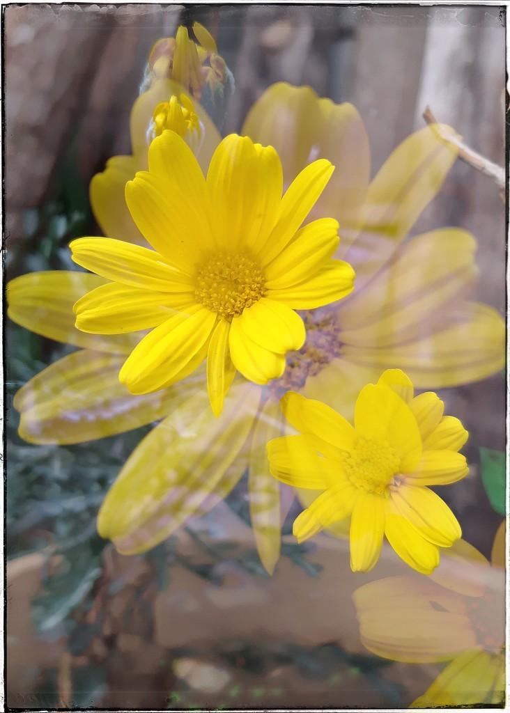 Double Daisy  by salza