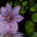 Reflections of Clematis