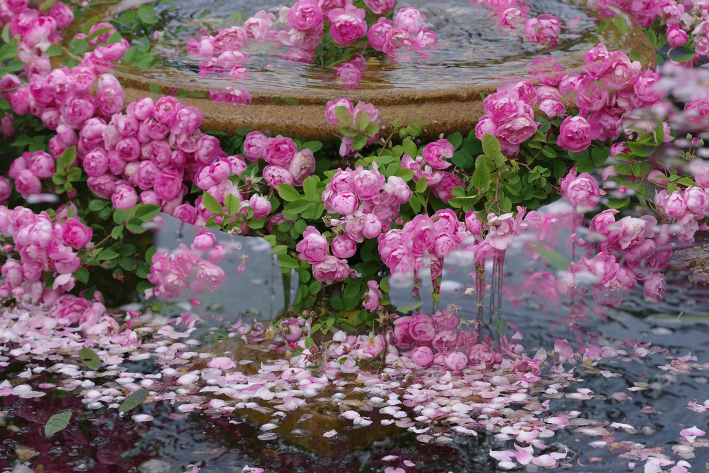 A Ring-a-Ring-of-Rosies........................ by 30pics4jackiesdiamond