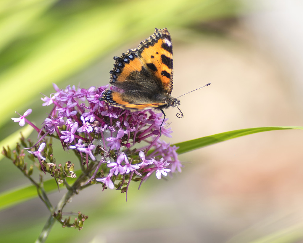 Butterfly on Valerian by lostphojo