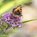 Butterfly on Valerian