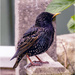 Young Starling by pcoulson