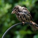 A SLIGHTLY SOGGY SPARROW by markp