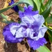 Iris - again by shutterbug49