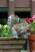 5th Jun 2020 - Squirrel Getting Ready To Leap