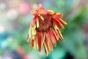 10th Jun 2020 - Faded Bloom
