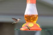 25th May 2020 - Hummingbird
