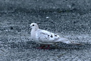 26th May 2020 - White Mourning Dove