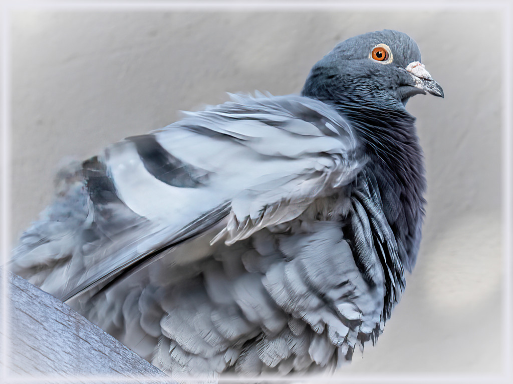 Another Rock Dove by ludwigsdiana