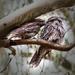Tawny frogmouths by glendamg
