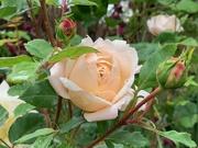 10th Jun 2020 - Crocus Rose