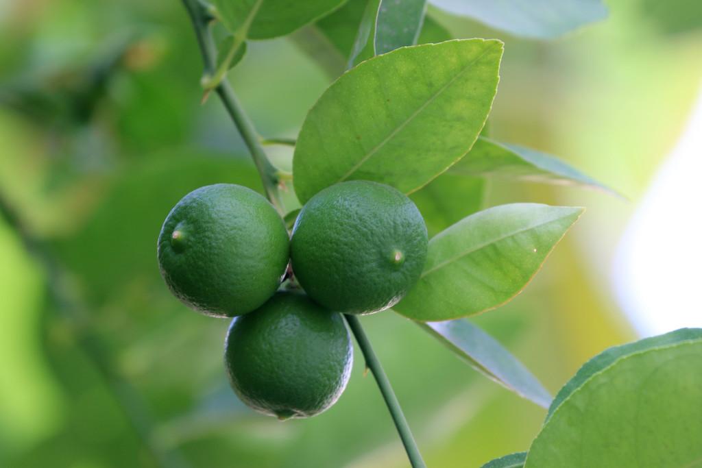 Lemons by ingrid01