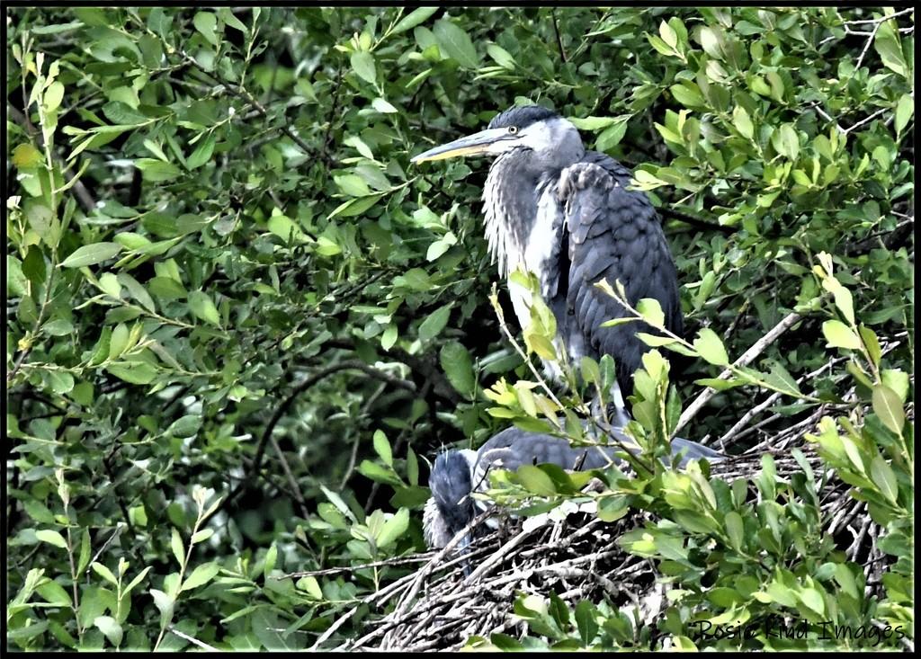 RK3_8587 Heron's nest by rosiekind