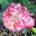 Grapeleaf begonia