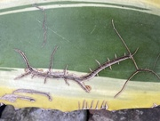 11th Jun 2020 - The silverfish is reading a cactus