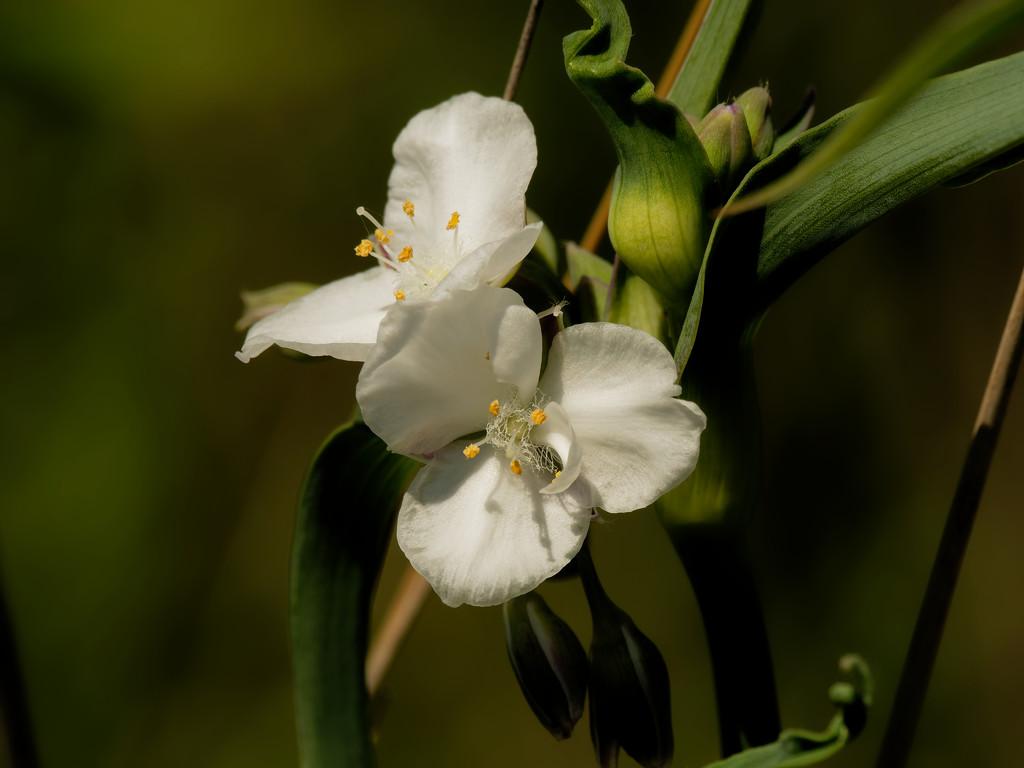White Virginia Spiderwort by rminer