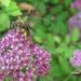 Spirea Bee by pej2