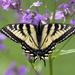 Eastern Swallowtail Butterfly by fayefaye