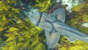 8th Jun 2020 - Port Jackson Shark