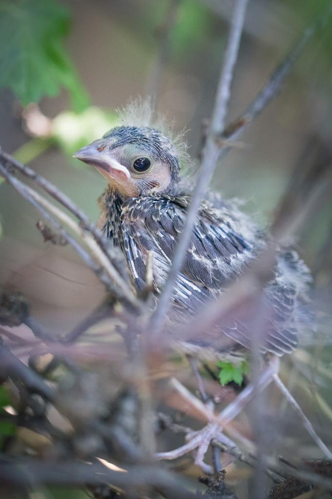 Baby Cardinal is Leaving Nest Soon by jyokota