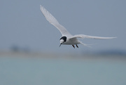 12th Jun 2020 - White fronted tern in flight