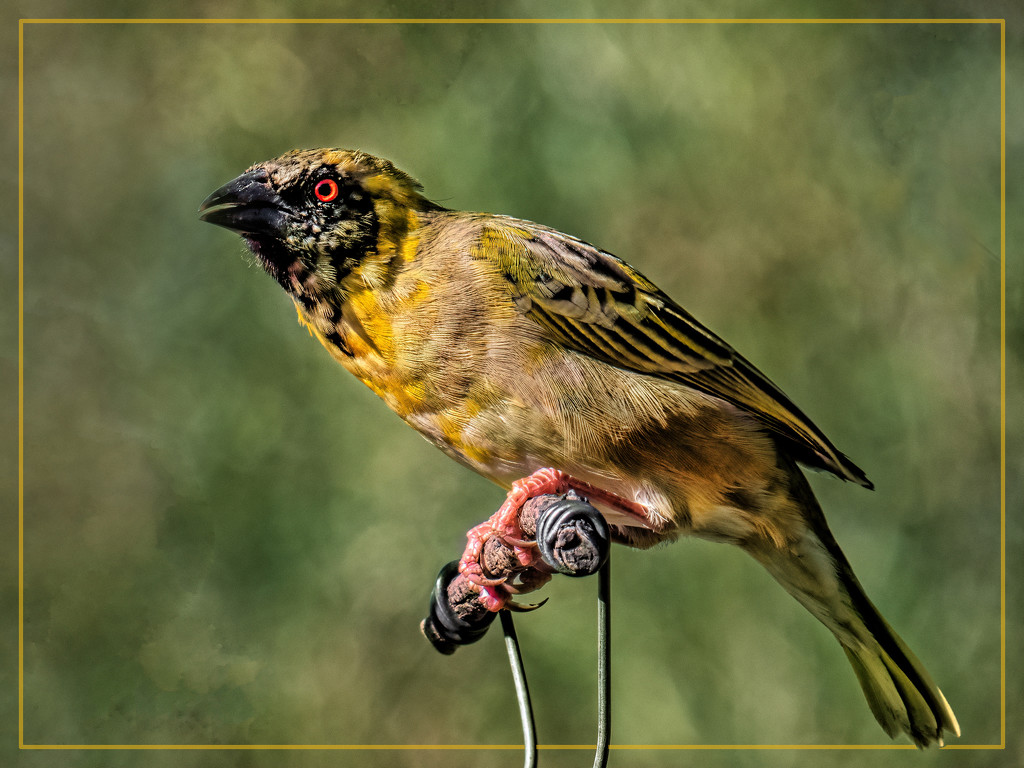 The Masked Weaver  by ludwigsdiana