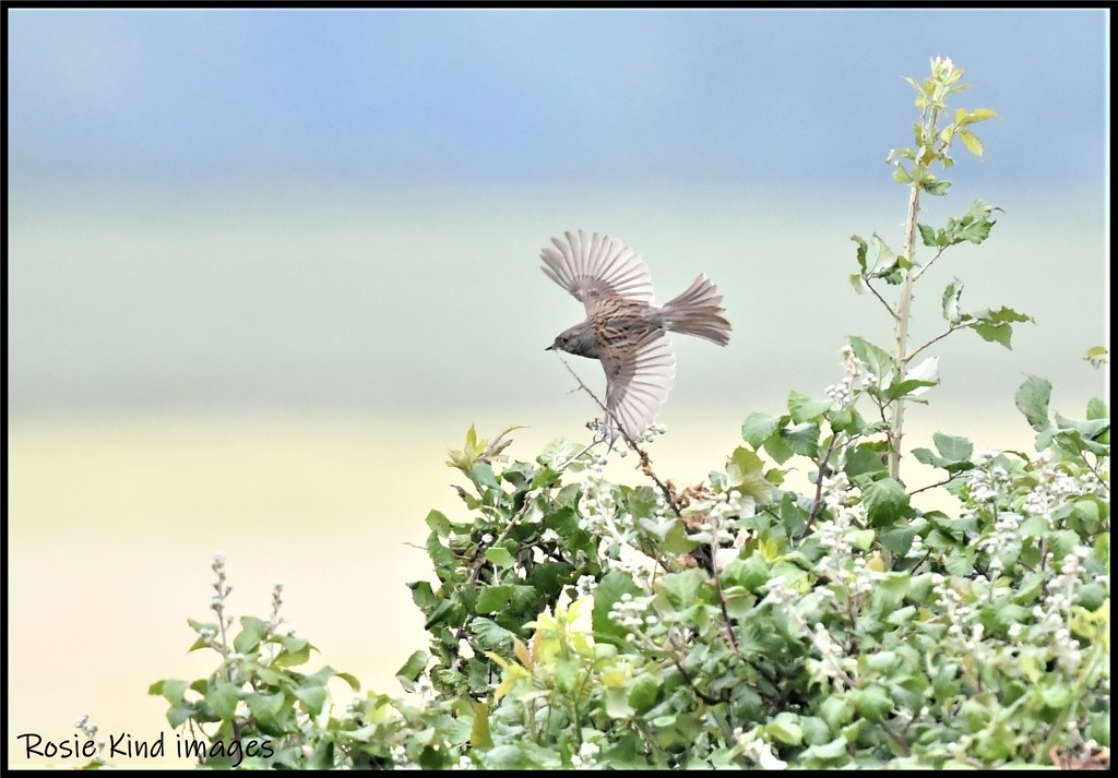 RK3_8648 The flight of the dunnock by rosiekind