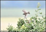 12th Jun 2020 - RK3_8648 The flight of the dunnock