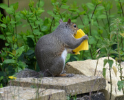 12th Jun 2020 - Grey Squirrel