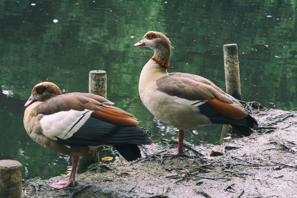 Egyptian geese by rumpelstiltskin