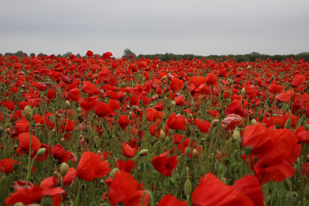 Field of Red  by phil_sandford